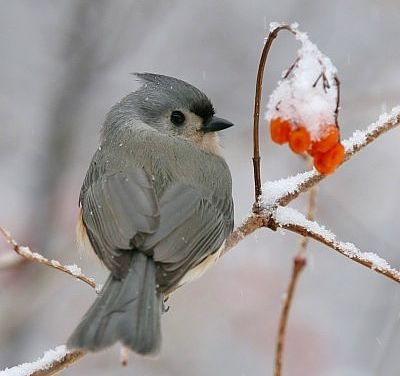 photo of Tufted Titmouse at Ojibway, by Russ Jones