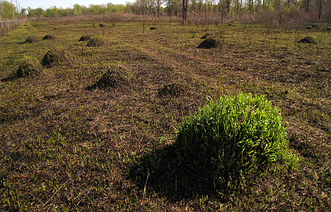 image of conspicuous ant mounds 12 days after prescribed burn in nature reserve