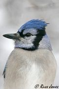 Blue Jay, Dec 15 2005