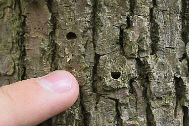 D shaped exit holes in ash trunk left by emerging Emerald Ash Borers.