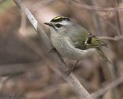 Golden-crowned Kinglet, April 2006