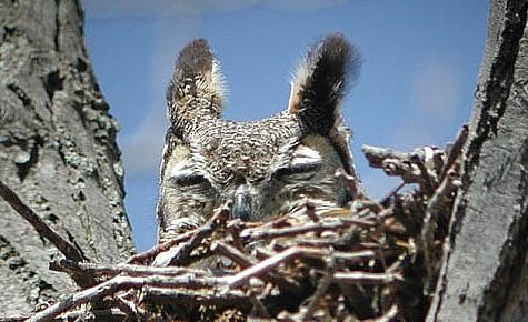 Great Horned Owl on nest. Photo by Russ Jones