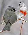 Tufted Titmouse image