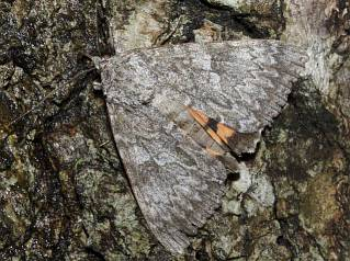 Meske's Underwing at bait