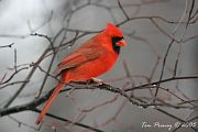 photo of male Northern Cardinal