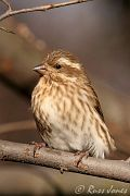 female Purple Finch, Nov 11 2005