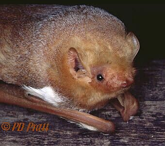 photo of Red Bat  (click here for more photos)