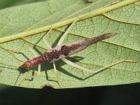 Two-spotted Tree-cricket