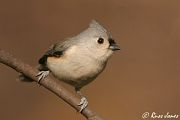 Tufted Titmouse, Nov 11 2005
